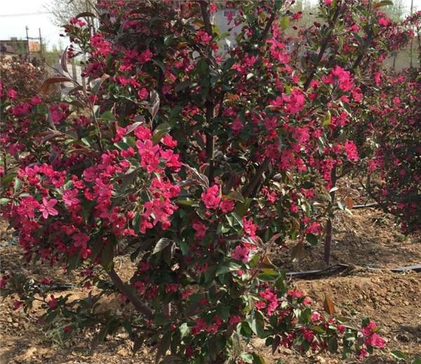 紫色王子海棠树盆栽如何养护