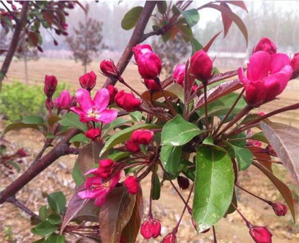紫色王子海棠树盆栽如何养