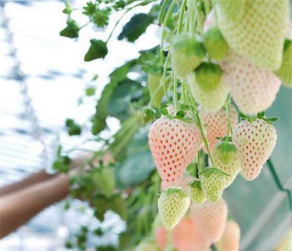 盆栽菠萝莓怎么种植好