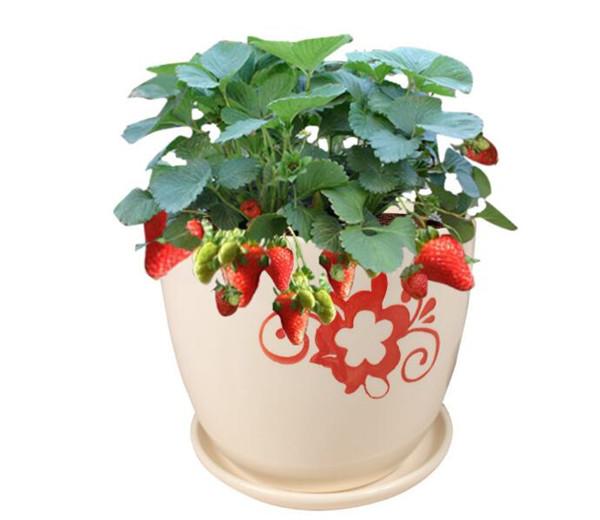 盆栽菠萝莓怎么种植