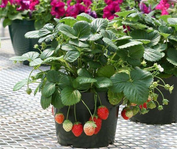 盆栽菠萝莓