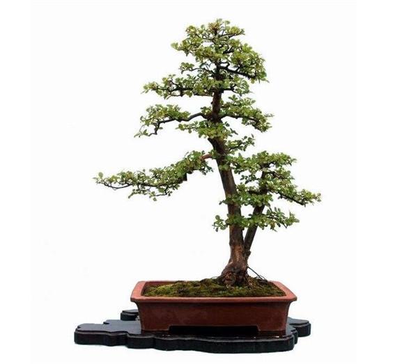 水杉盆景怎么养 常见的方法有哪些