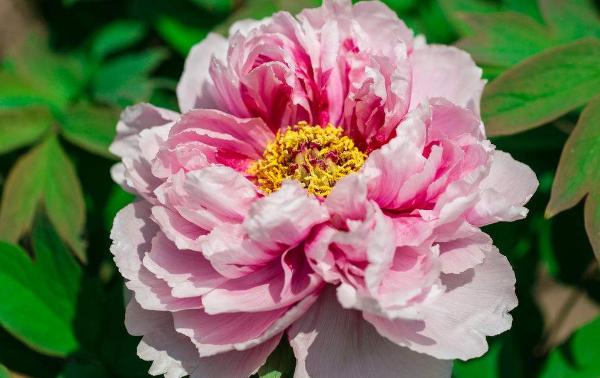 牡丹花的养护方法