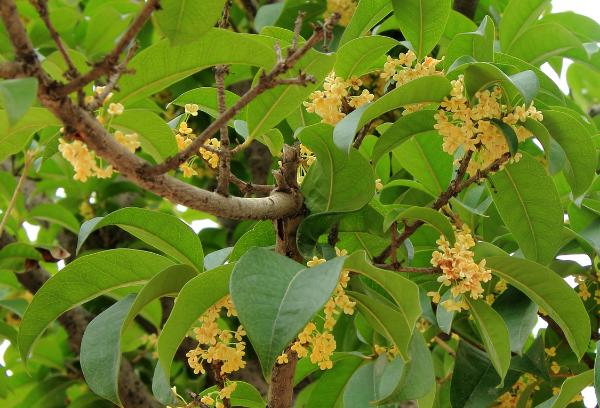 桂花树的种植要点