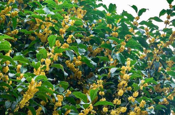 种植桂花树的要点