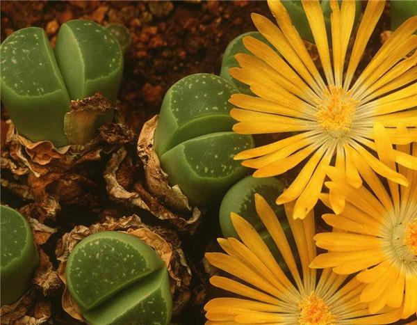 生石花日常如何养护 常见的方法有哪些