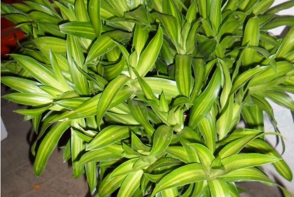 养殖金边富贵竹的要点