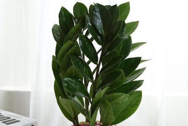 金钱树有哪些作用 居家养殖的好植物