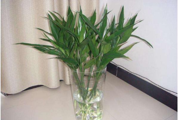 富贵竹有哪些作用 净化室内空气的好助手