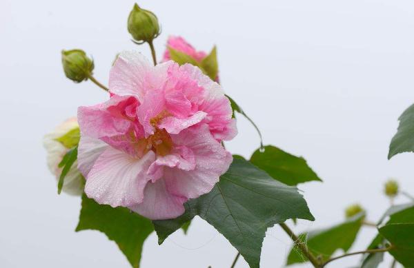 芙蓉花的养殖要点 值得收藏