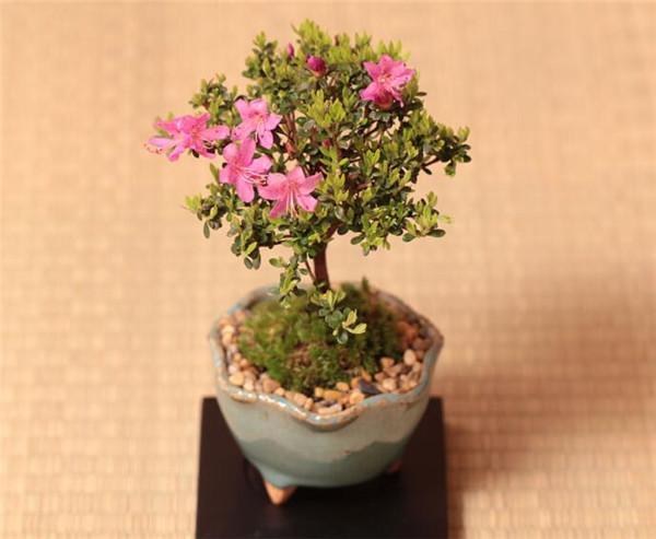 五叶梅盆栽养护技巧