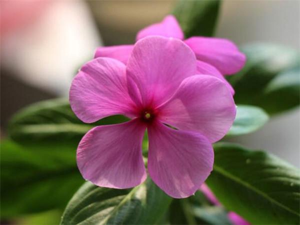 五叶梅盆栽养护
