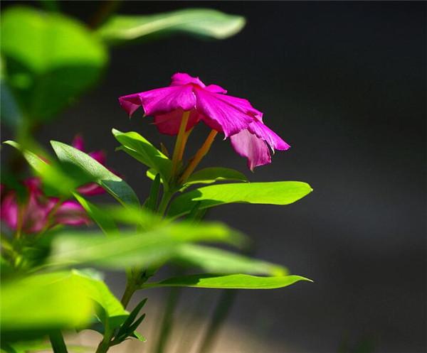 五叶梅盆栽