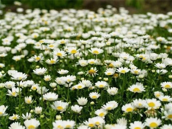 白晶菊冬季如何开花