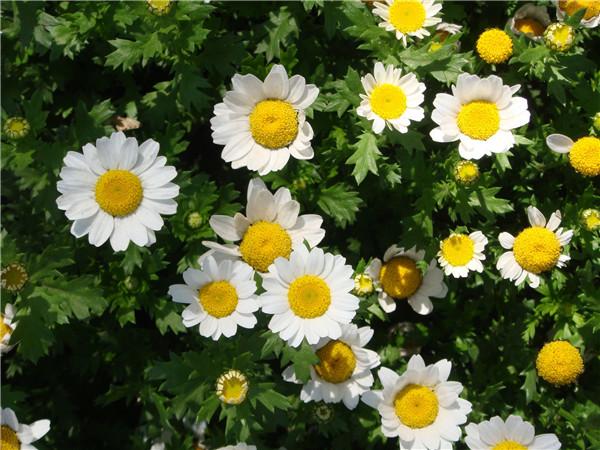 白晶菊如何开花