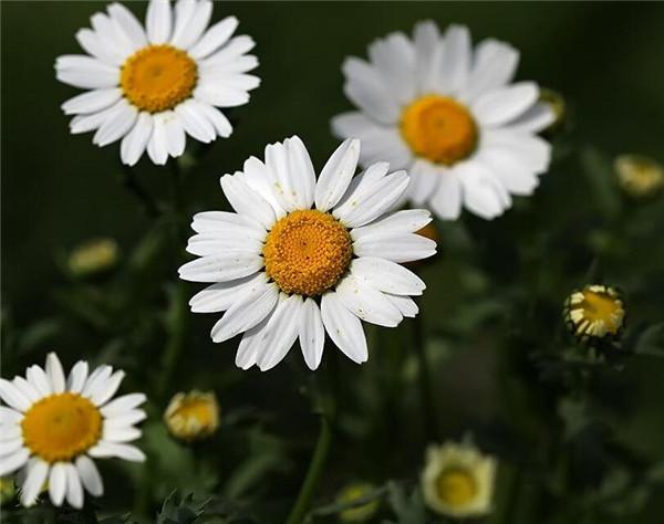 白晶菊冬季如何开花 该怎么养呢