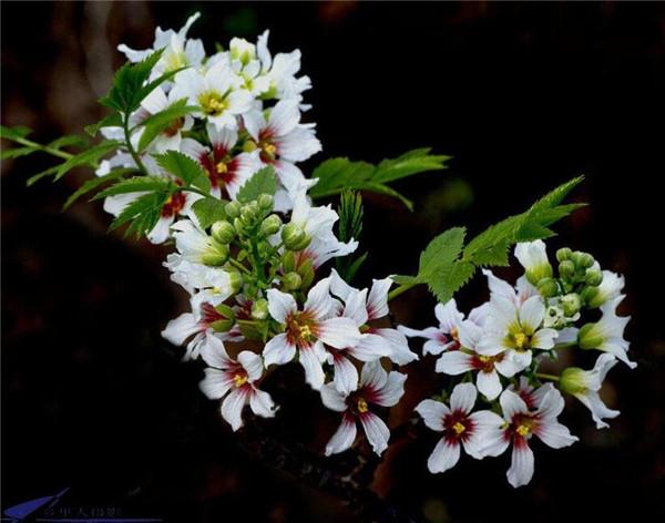植物文冠果开花