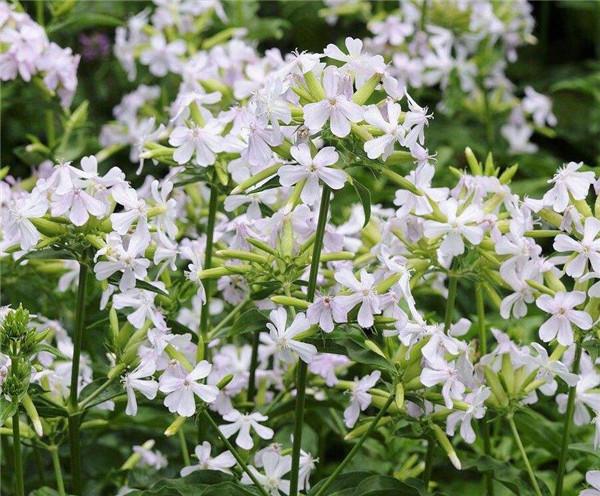 植物肥皂草怎么繁殖 常见的方法有哪些呢