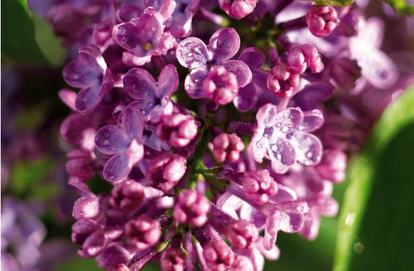 丁香花的养殖要点
