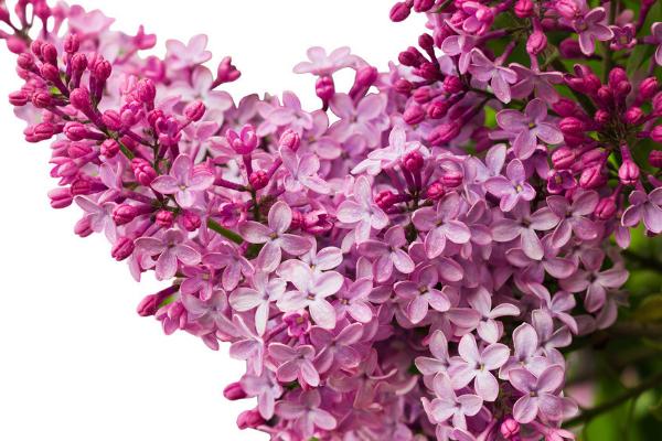 养殖丁香花的要点