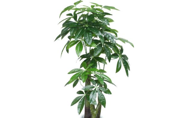 招财树的养殖要点
