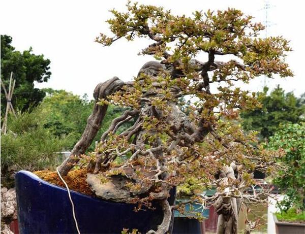 雀梅盆景养护