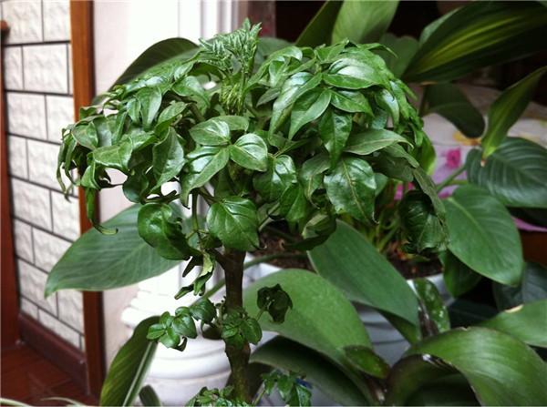 平安树养殖技巧有哪些 怎么繁殖呢