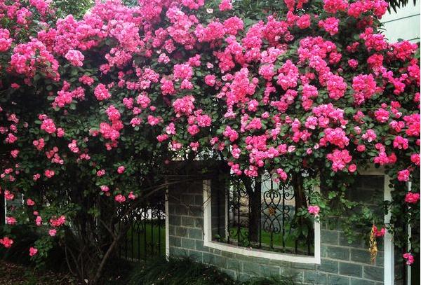 蔷薇花的养殖要点 值得收藏