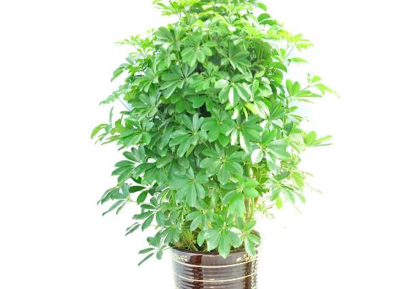 养殖鸭掌木的要点 完美的室内装饰植物
