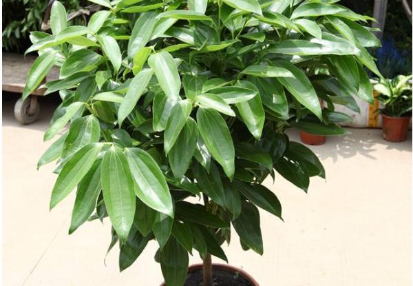 养殖平安树的要点 让平安常伴你左右