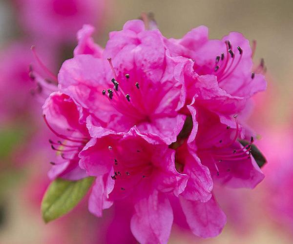 如何在家中养殖杜鹃花 为你室内开满花香