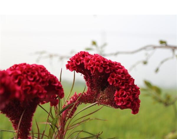 鸡冠花怎么养殖好