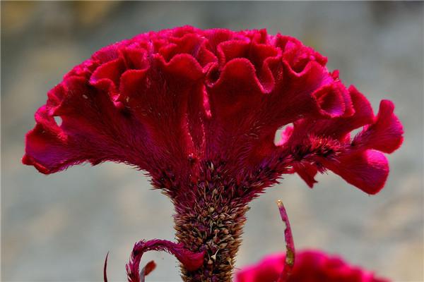 鸡冠花怎么养殖