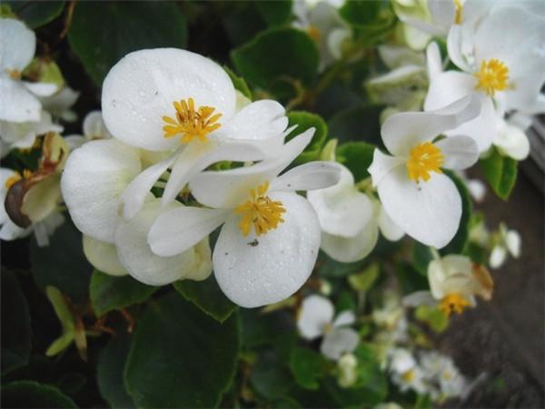 四季海棠养殖