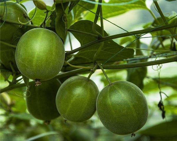 罗汉果种植