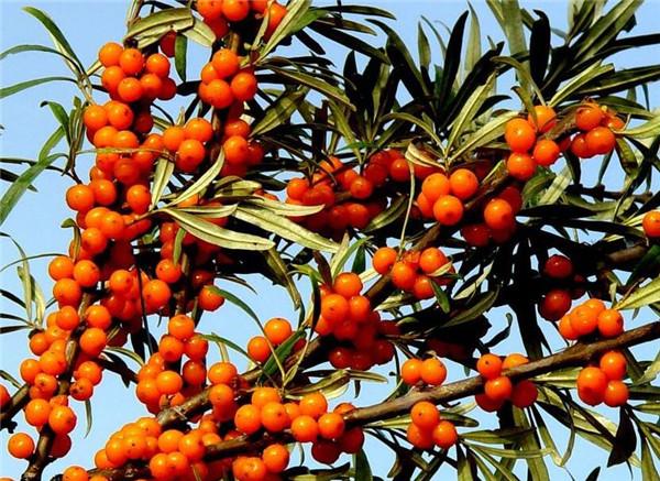  沙棘怎么种植 常见的方法有哪些