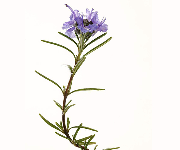 迷迭香室内盆栽种植 为你带来使用技巧