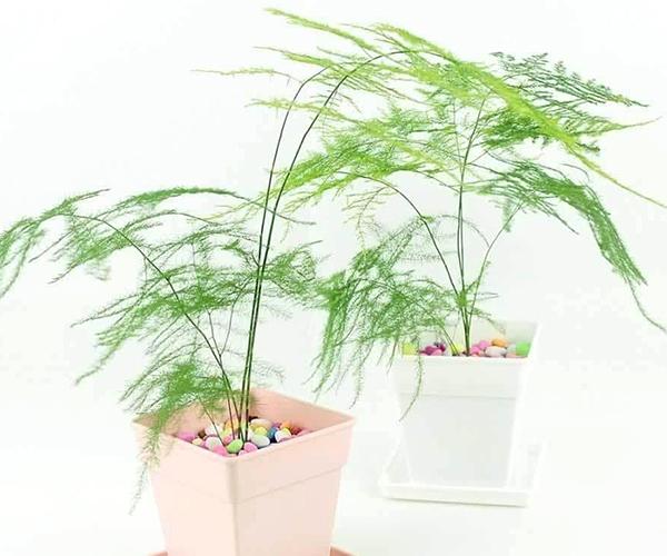 文竹如何养殖