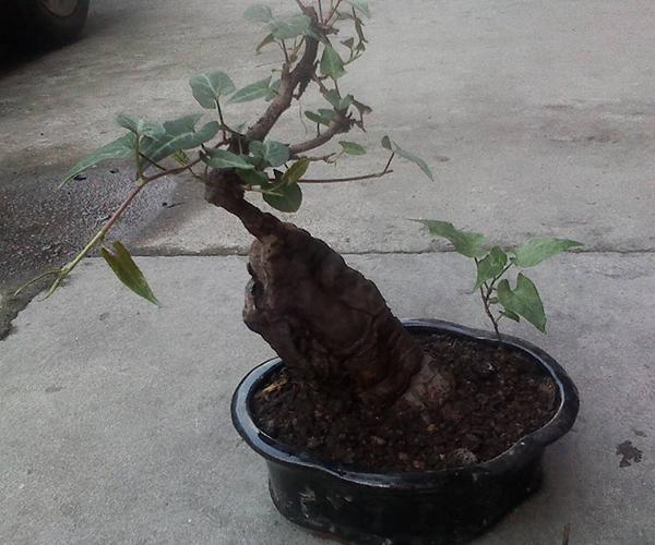 何首乌盆栽种植