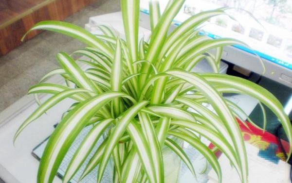 家庭植物风水作用