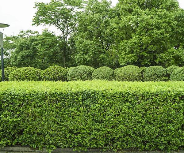 冬青树养殖方法