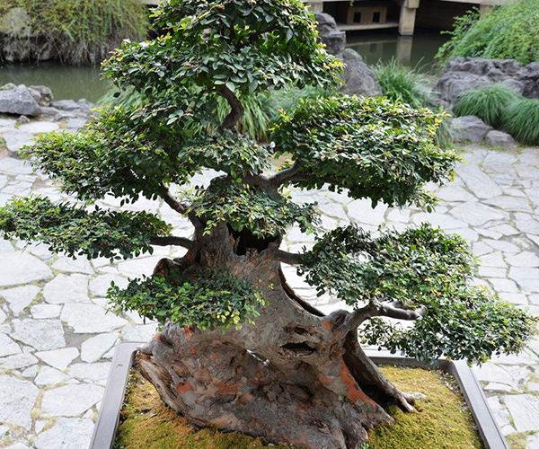 榆树盆景如何制作