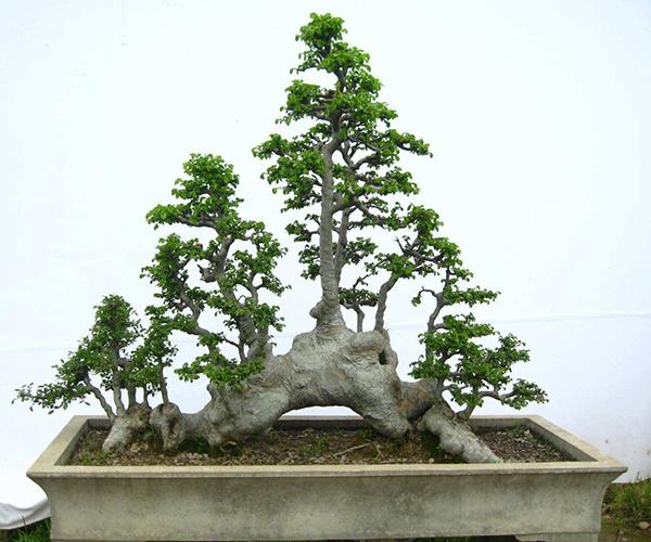 如何制作榆树盆景