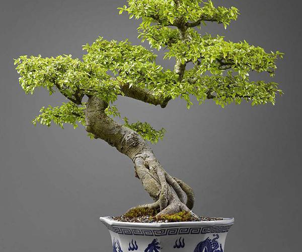 榆树盆景如何制作 制作要有哪些准备