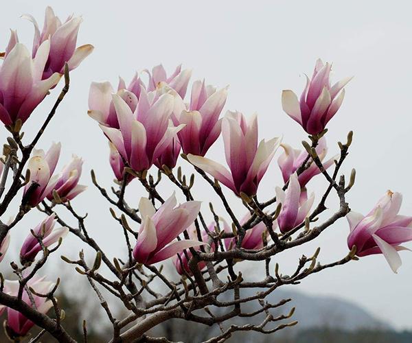 紫玉兰养殖