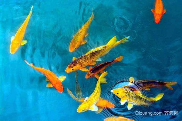 养风水鱼要注意什么 养风水鱼有什么讲究图片