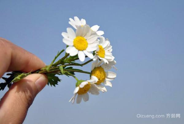关于雏菊的传说
