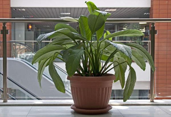 办公室植物风水