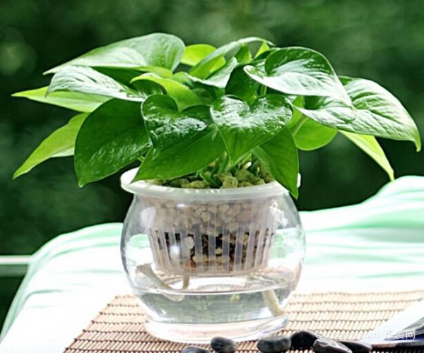 水培植物营养液的用法