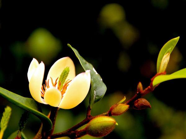 含笑花养殖